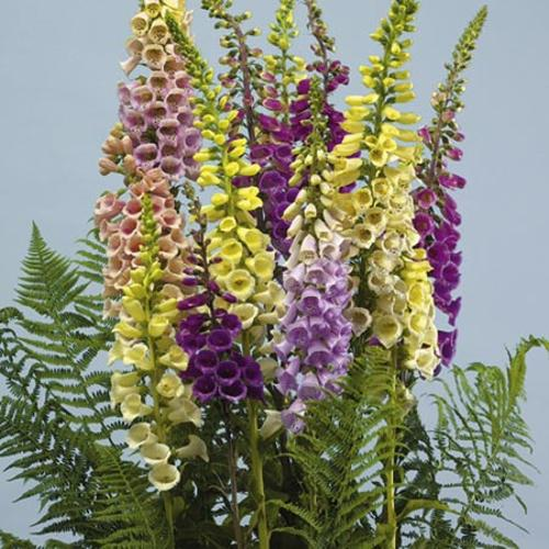 Digitalis Seeds - Speckled Spires Mix