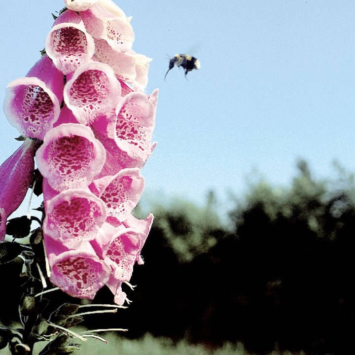 Digitalis Plant - Summer King