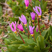 Click to view product details and reviews for Dodecathon Seeds Shooting Star Mix.