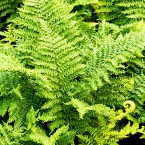 Dryopteris cristata Plant