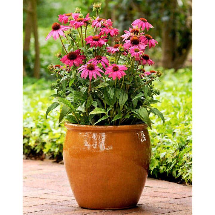 Echinacea Plant - PowWow Wild Berry