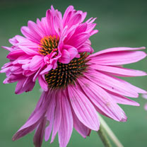 Click to view product details and reviews for Echinacea Seeds Doubledecker.
