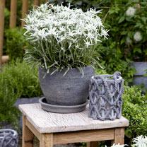 Leontopodium Plant - Blossom of Snow