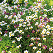 Erigeron Plants - Sea of Blossom