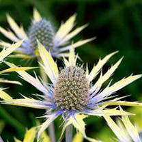 Eryngium Plant - Neptunes Gold