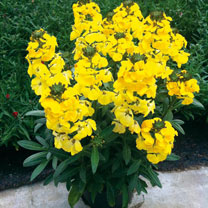 Very bushy compact plants with bright yellow scented flowers. Flowers April-July and in favourable conditions through the summer too giving a very lon