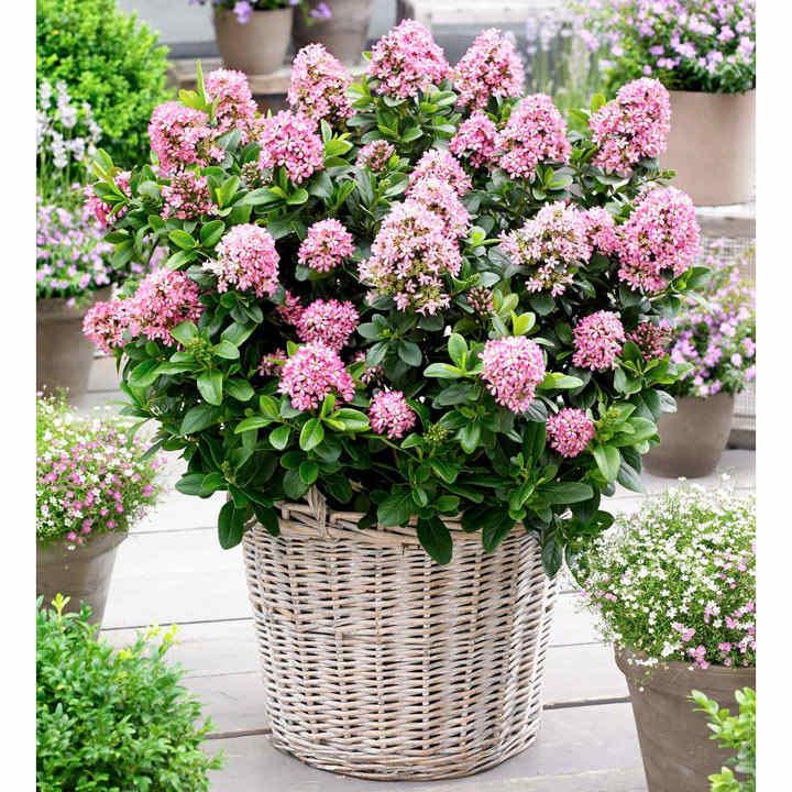 Escallonia laevis Plant - Pink Elle