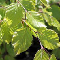 Fagus sylvatica (Green Beech) Plant - 2L Value Hedging Range