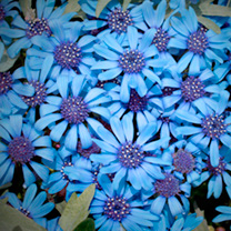 Blue daisies! Pretty daisy-like sky blue blooms, covering deep green foliage throughout the summer until the first frosts! A stand out summer bedding