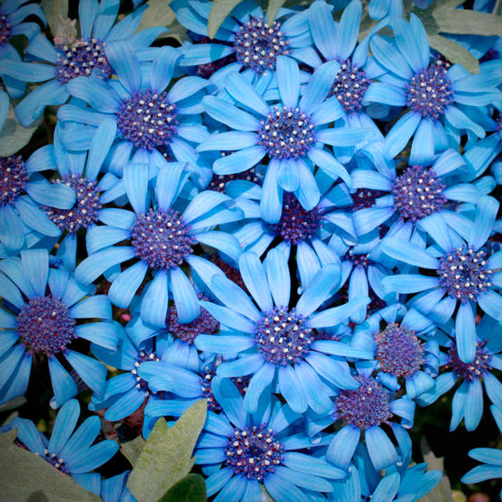 Felicia seeds pretty blue view all flower seeds flower seeds felicia seeds pretty blue view all flower seeds flower seeds gardening mightylinksfo