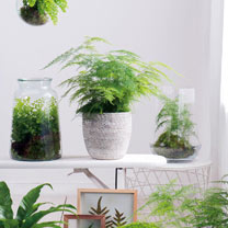 Click to view product details and reviews for Houseplant Seeds Asparagus Fern.