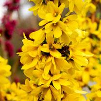Forsythia int. Plant - MIKADOR