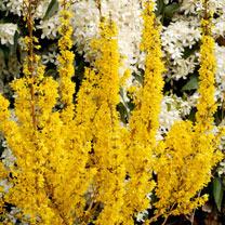 Forsythia int. Plant - MIKADOR®