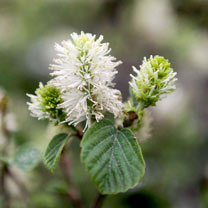 Fothergilla major Plant - Blue Shadow NOBLE
