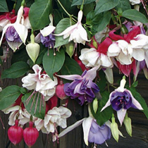 Fuchsia Plants - Trailing Collection