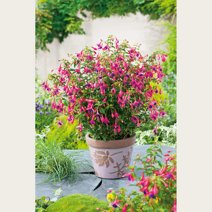 Fuchsia Plant - Tom Thumb