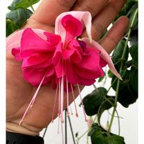 Fuchsia Plants - Giant-flowered Bella Rosella