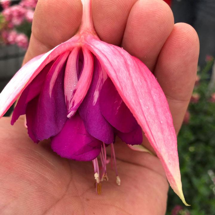 Fuchsia Plants - Giant-flowered Taffeta Bow