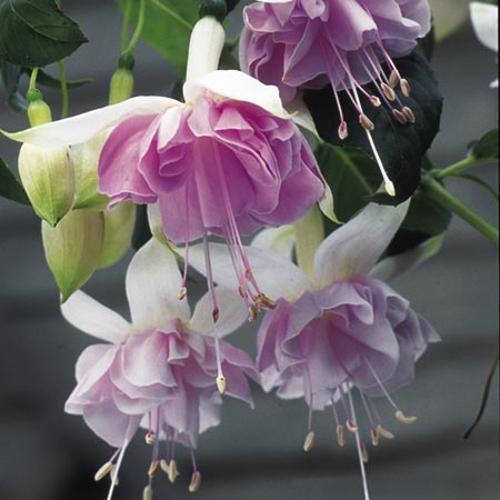 Fuchsia Plants - Giant-flowered Trailing  Holly's Beauty