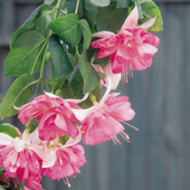 Fuchsia Plants - Giant Double-flowered Trailing Collection