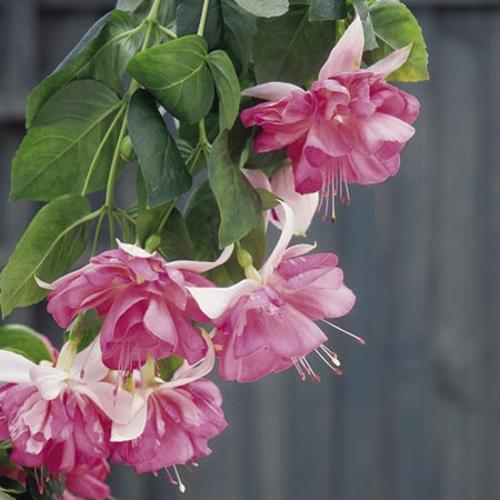 peachy house plants that are safe for cats. Fuchsia Plants  Giant flowered Peachy 6 Flower