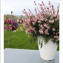 Gaura Plants - Graceful Light Pink