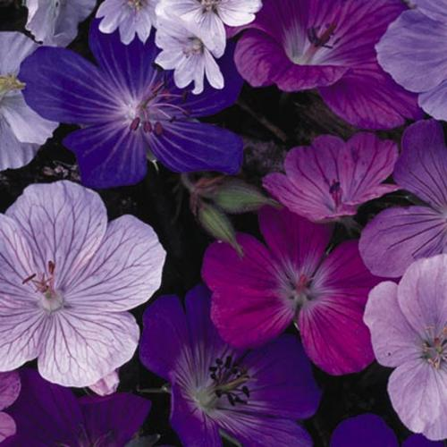 Geranium Seeds - Hardy Mix
