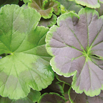 Geranium Plants - Black Velvet Mix