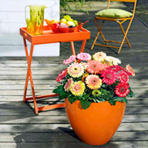 Gerbera Plant - Cartwheel Strawberry Twist