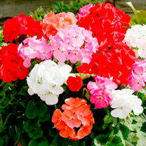 Geranium/Begonia Plants - Twin Pack