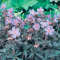 Geranium Plant - Black Beauty