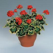 Geranium Plants - Grandeur Deco Mrs Pollock