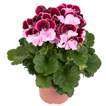 Geranium Plants - Elegance Jeanette