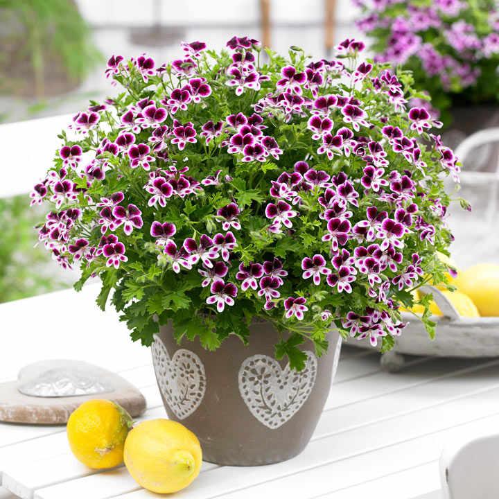 Geranium Plants - Eva Mosquitaway