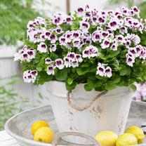 Geranium Plants - Lizzie Mosquitaway