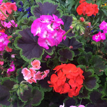 Geranium Plants - Black Velvet Mix