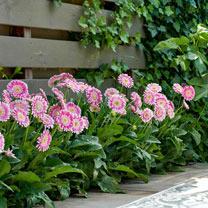 Gerbera Plants - Sweet Fiesta
