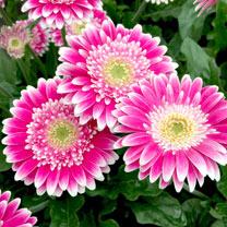 Gerbera Garvinea Plant - Sweet Fiesta