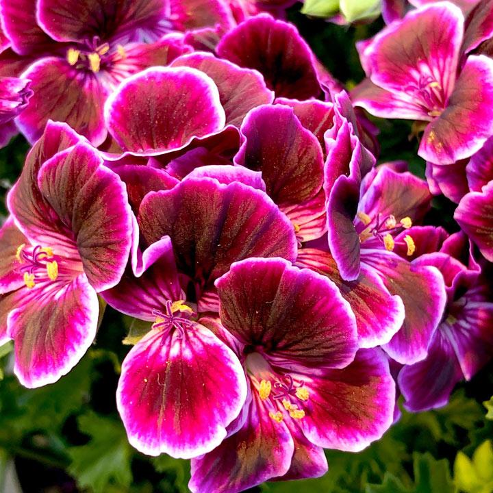 Geranium Plants - Megan Mosquitaway