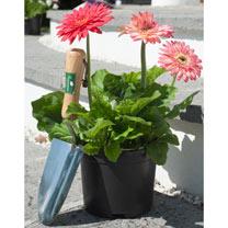Gerbera Plant - Cartwheel® Strawberry Twist