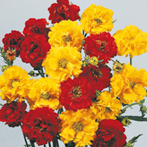 Vivid red and yellow flowers create a splash of colour! Traditional cottage garden favourite. Flowers July-September. Height 30cm (12). HP Hardy peren