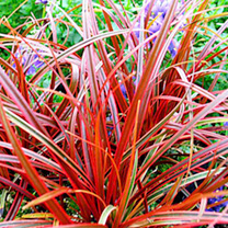Uncinia Plants - Rubra Everflame