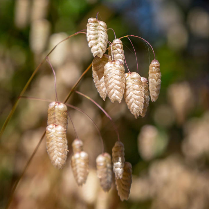 Prairie Seeds - Greater Quaking Grass