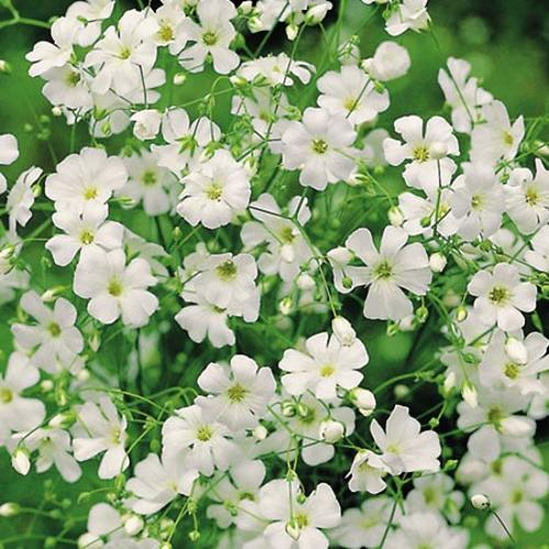 Gypsophila Seeds - Covent Garden White