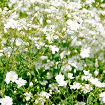 Gypsophila Plants - Pretty Maid