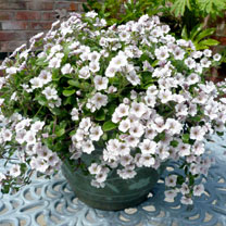 Gypsophila Plant - Pretty Maid