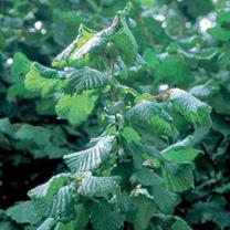 Corylus avellana Bare Roots
