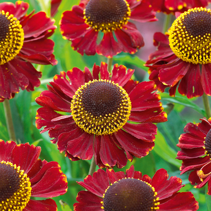 Helenium Ruby Tuesday Plants Perennial Plants Gardening