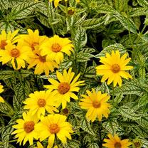 Heliopsis Plant - Sunburst