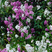 Slender stems topped with sweetly-scented purple or white flowers. Very attractive to pollinating insects. An easy-to-grow cottage garden favourite th